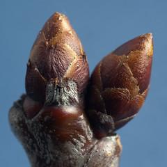 Cherry buds (-- Green Light Images --) Tags: studio prunus rosaceae dsc7273