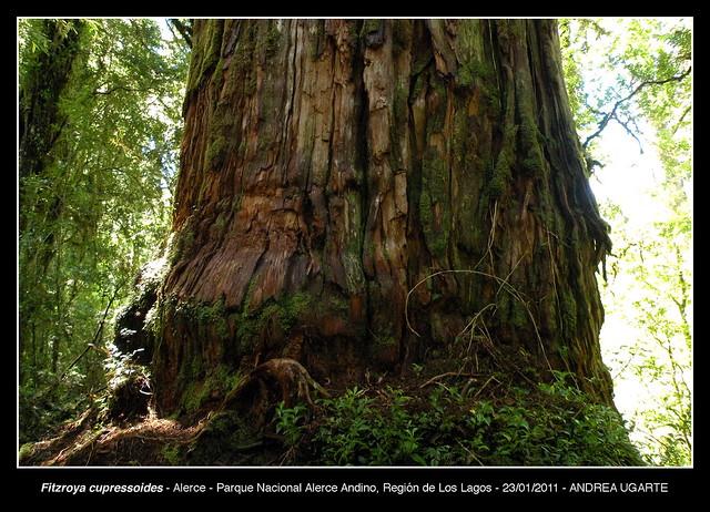 Fitzroya cupressoides, tronco