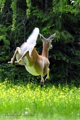 Jump (misst.shs) Tags: nature forest jump woods nikon deer hcs northidaho d90 whitetaildoe clichesaturday