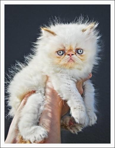 Persian cat - hdr/photomatix