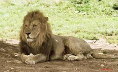 74 Leone - Lyon (Ezio Donati) Tags: africa nature nikon wildlife natura animali 1001nightsmagiccity mygearandme