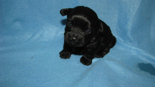 Teacup Yorkiepoo Puppy at 4 weeks