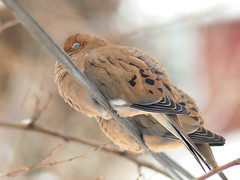 Trying to keep warm (crossquill) Tags: bird dove telephoto olympuspen ep1 vivitar75300