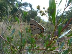 Jalmenus evagoras (dhobern) Tags: australia lepidoptera canberra february blackmountain act lycaenidae 2011 theclinae taxonomy:order=lepidoptera taxonomy:family=lycaenidae geo:country=australia jalmenusevagoras jalmenus evagoras taxonomy:binomial=jalmenusevagoras taxonomy:genus=jalmenus geocode:accuracy=14 geo:lon=1491004 geo:lat=352691
