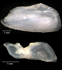 Littlehead Porgy Otolith (FWC Research) Tags: fish florida research otolith