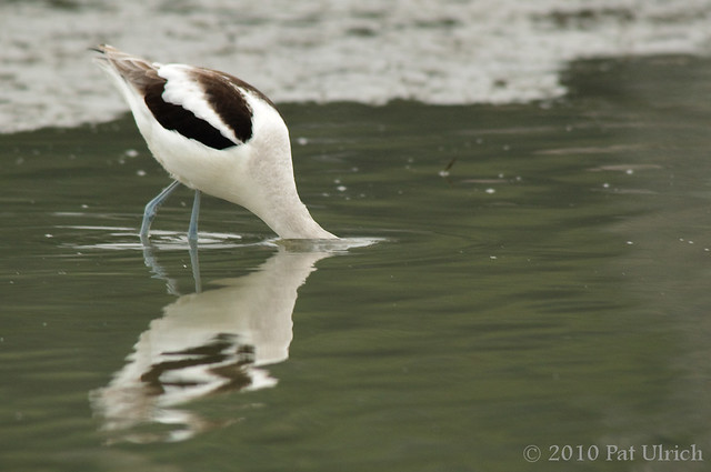 Avocet with head underwater - Pat Ulrich Wildlife Photography