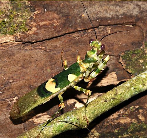 Expédition Sangha2010 : une mante fleur