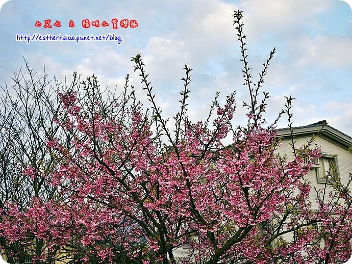 83 平菁街42巷櫻花樹