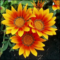 Gazanias.. (lacha2008) Tags: ngc gazania greatshots topshots mixedflowers frameit photosandcalendar flowersarebeautiful excellentsflowers excelllentsflowers natureselegantshots wonderfulworldofmacro exquisiteflowers mimamorflowers floraanffaunaoftheworld flickrflorescloseupmacros panoramafotogrfico panoramafotografico thebestofmimamorsgroups theoriginalgoldseal mygearandme mygearandmepremium mygearandmebronze mygearandmesilver mygearandmegold flickrportal mygearandmeplatinum mygearandmediamond aboveandbeyondlevel4 aboveandbeyondlevel1 flickrstruereflection1 flickrstruereflection2 aboveandbeyondlevel2 aboveandbeyondlevel3 rememberthatmomentlevel4 rememberthatmomentlevel1 thephoto~heart~art~group flickkrsportal magicmomentsinyourlifelevel2 magicmomentsinyourlifelevel1 rememberthatmomentlevel2 rememberthatmomentlevel3 rememberthatmomentlevel5 vigilantphotographersunite vpu2 vpu3 vpu4 vpu5 vpu6 vpu7 vpu8 vpu9 vpu10 frameitlevel3 frameitlevel2 frameitlevel4 frameitlevel5 frameitlevel6 frameitlevel7