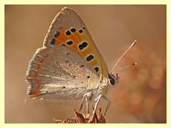 Lycaena phlaeas (PheCrew) Tags: detail macro nature closeup photoshop bug insect natura insetto lycaenidae lycaenaphlaeas soken phecrew