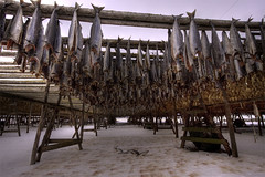Stock fish hanging for dry (jonrrr) Tags: iceland ísland sjór bátur skagafjörður fiskur brú torfbær