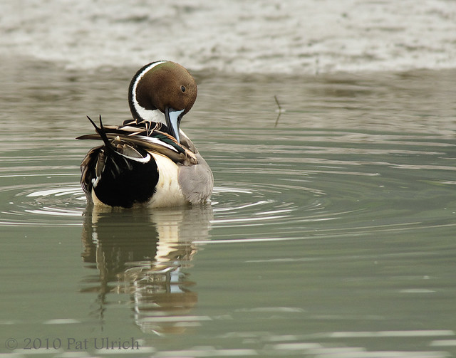 Northern pintail getting ready for Valentine's - Pat Ulrich Wildlife Photography