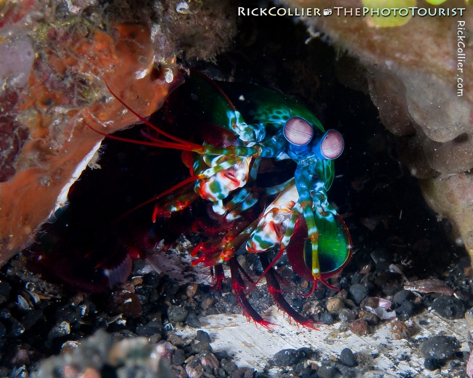 A peacock mantis shrimp peeks out of its burrow to check out the photographer