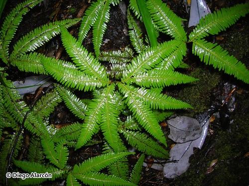 <i>Gleichenia quadripartita</i> cubriendo el piso del bosque en el Monumento Natural Contulmo, Región de la Araucanía.
