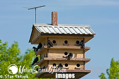 Purple Martin (Progne subis) (Stan Tekiela's Nature Smart Wildlife Images) Tags: usa bird minnesota birds unitedstatesofamerica feather aves compartment swallow woodenhouse mn apartmentbuilding avian stockimages appartmenthouse purplemartinprognesubis stantekiela naturesmartwildlifewordsandimages purplemartinprognesubiswoodenhouse