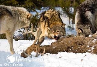 Gray Wolf (Canus lupus)