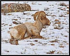 Bighorn sheep (Pattys-photos) Tags: sheep wyoming bighorn topazsoftware