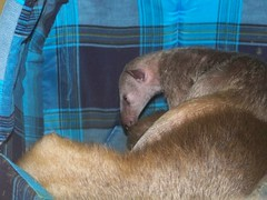 Baby tamandua bugging mom