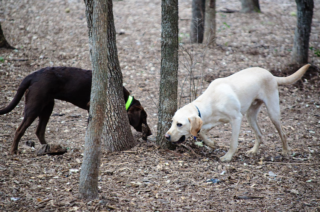 Bob sniffing a tree along with another dog