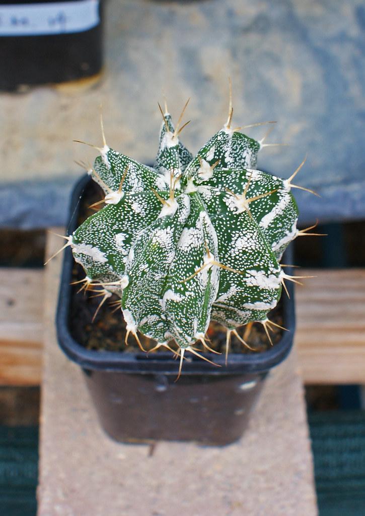 Astrophytum Cultivars  5481008657_c2d1df0e2b_b