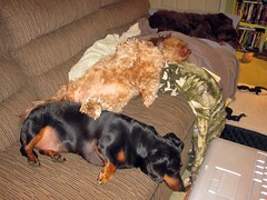 The Sleepers (Tobyotter) Tags: dog chien pet frank hound canine dachshund perro hund link sleepyhead wienerdog dackel teckel k9 jimmydean doxie sausagedog aplaceforportraits