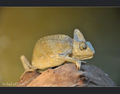 Chameleon () Tags: nikon 2011 d90       so3ad 90