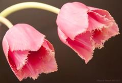 ~*~ Pink on Black ~*~ (Deborah S-C) Tags: lighting pink flowers black flower macro green texture fleur petals stem flora pale petal stems posh stalk stalks frilly tuliptulipa flowers~march2011