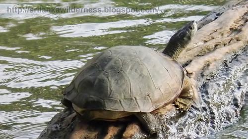 Parker's Black Turtle Parker's Black Turtle පාකර්ගේ ගල් ඉබ්බා