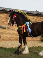 471 (remarkable trees) Tags: bay shire rosettes stallion 2010 springshow plaited shirehorses inhand eastofengland