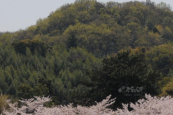 櫻花花瓣,佈滿整個天空整個山頭