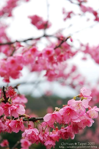 2011陽明山花季21.jpg
