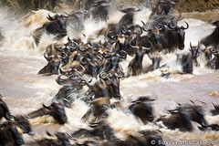 Swimming Wildebeest (Burrard-Lucas Wildlife Photography) Tags: motion blur swimming river chaos crossing great mara migration serengeti wildebeest frenzy