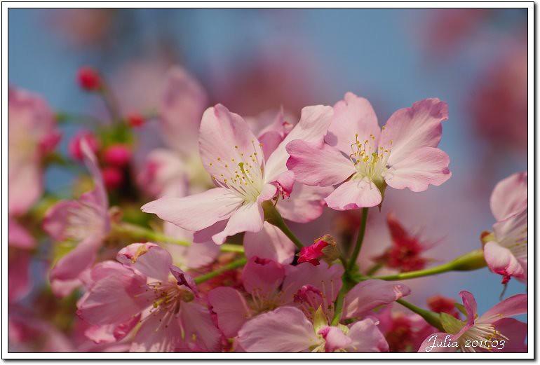 櫻花 (10)