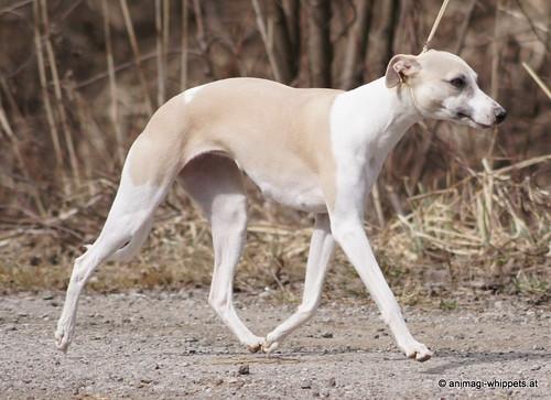 Sylvianne's Indira (Camaro) 1 Jahr alt