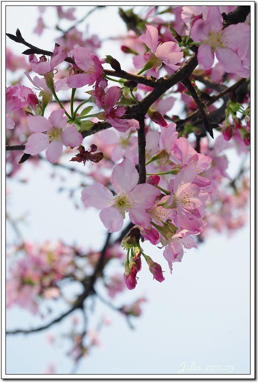 櫻花 (24)