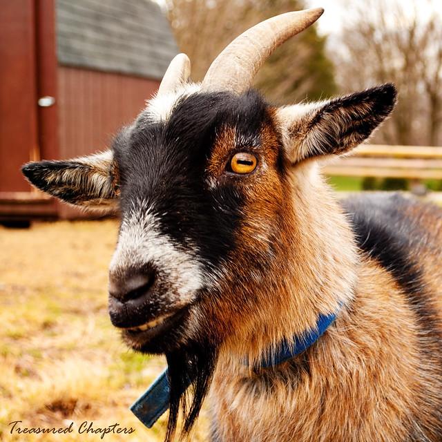 cave goat