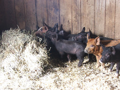 2011 Piglets