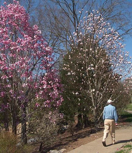 Saucer Magnolias