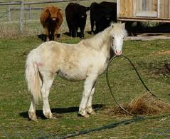 Peanut (Understated Flea) Tags: blue pet white mountain virginia farm blueeyes domestic pony blueridgemountains equine caramello