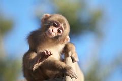 Funny pose (Masashi Mochida) Tags: baby pose monkey funny awaji naturesfinest coth supershot abigfave impressedbeauty rubyphotographer