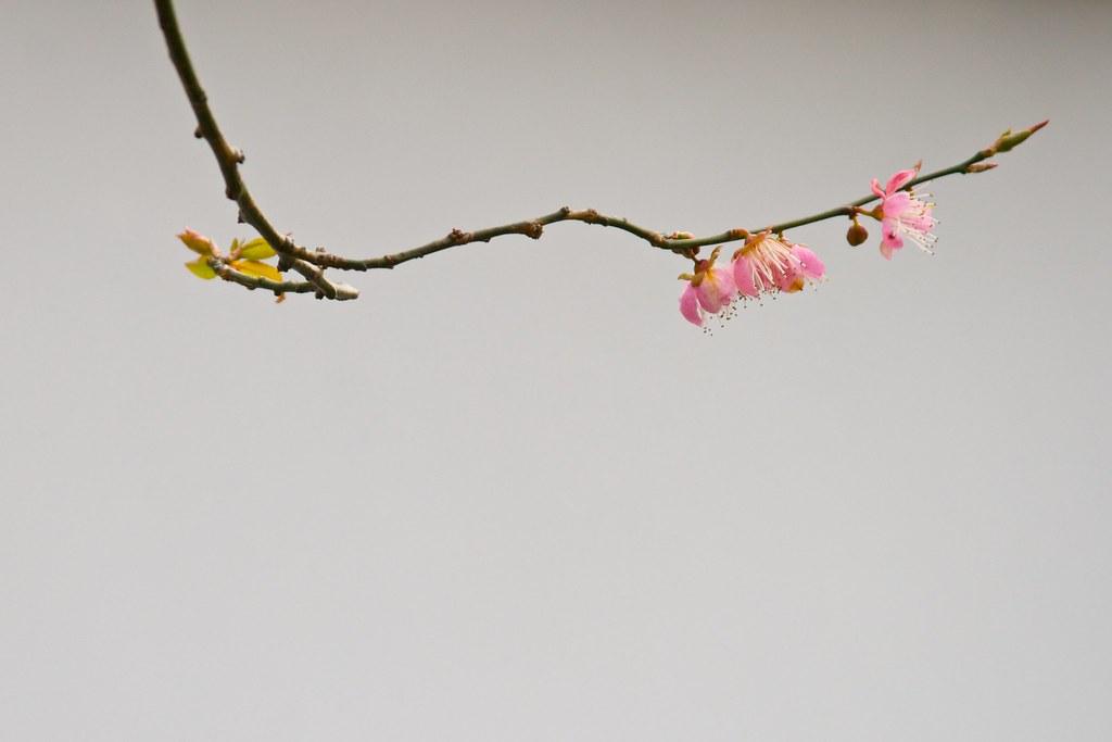cherry tre blosom