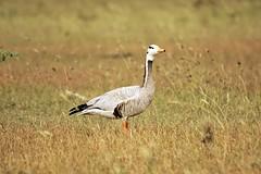 Bar headed Goose (Gurusan2010) Tags: barheadedgoose anserindicus