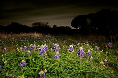 Bluebonnets at Night ~ oscote365 146 (Don J Schulte) Tags: light lightpainting flower field night dark painting march spring pad meadow bluebonnet bloom 365 wildflower bluebonnets 2011 oscote oscote365 dwcfflightpaint