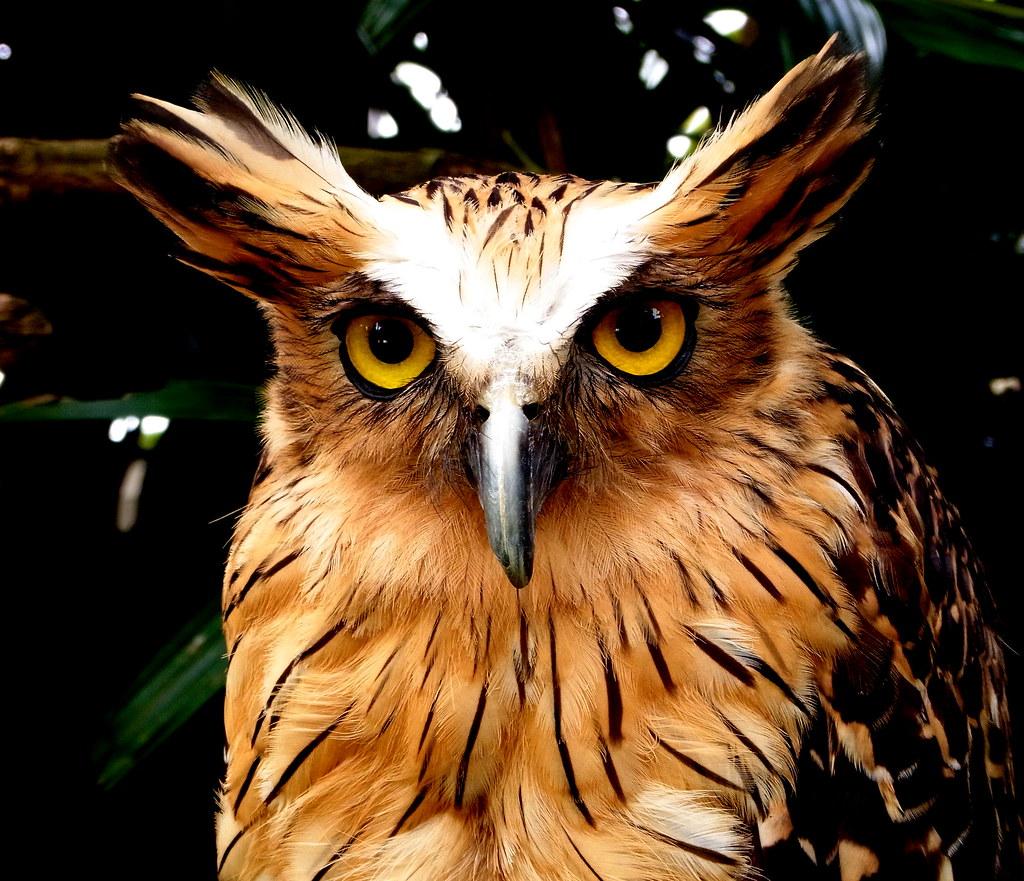 52 Koleksi Gambar Burung Hantu Marah Gratis