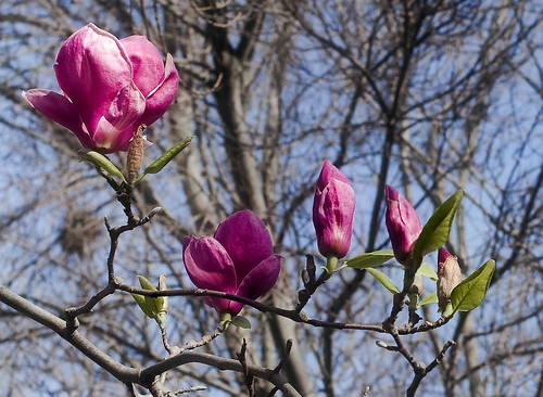 Thumbnail for Spotting Magnolias in early bloom