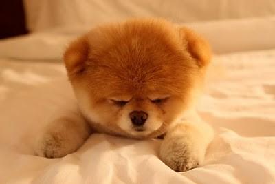 boo_Pomeranian_Dog_09