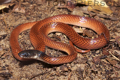 Clelia clelia: Mussurana (Todd W Pierson) Tags: reptile snake guyana todd clelia pierson reptilia colubrid colubridae serpentes mussurana cleliaclelia taxonomy:binomial=cleliaclelia toddpierson