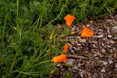 California poppies (digiteyes) Tags: sanfrancisco bayarea ggnpc11