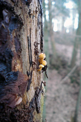 Mini-Pilze (onnola) Tags: tree forest germany deutschland fungi bark trunk wald rinde koblenz pilz rheinlandpfalz stamm baumstamm rhinelandpalatinate arzheim griesenbachtal