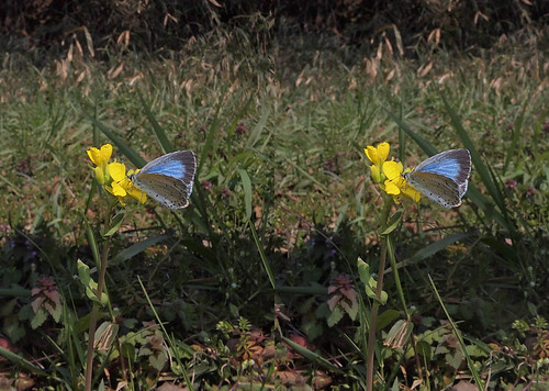 Celastrina argiolus, stereo parallel view